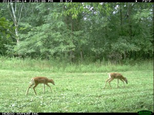 food plots whitetail