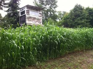 Whitetail food plot