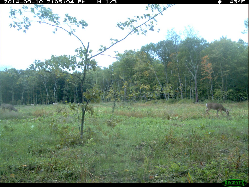 Roadside Food Plots for Deer