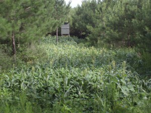 food plots or clear cuts