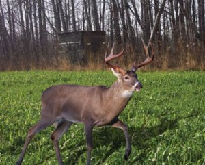 over seeding clover in food plots for deer