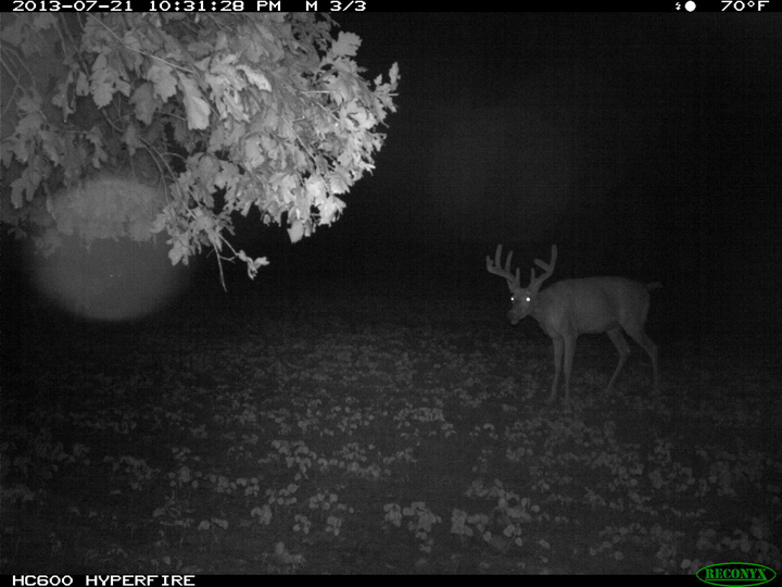 mock scrape buck